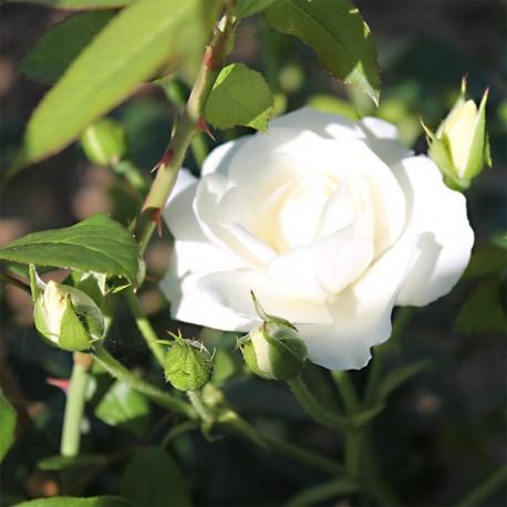 ma plan te jardin sept beaux rosiers de la p pini re pierre gaujard. Black Bedroom Furniture Sets. Home Design Ideas