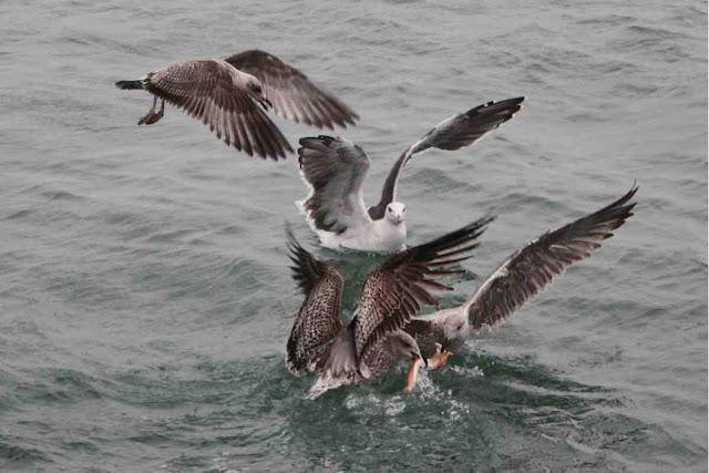 Diese Möwen zanken sich um den Abfall vom Fischmarkt