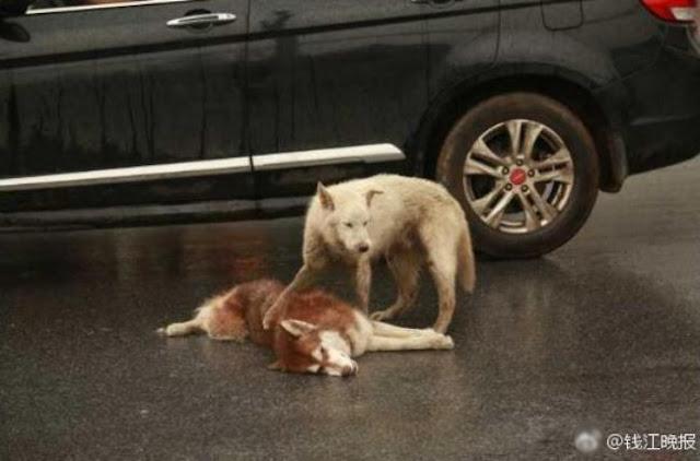 Chú chó tình nghĩa ra sức bảo vệ và lay người bạn đã chết dậy