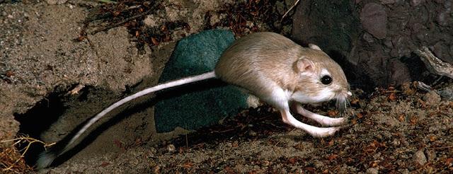 ander 7 dipodomys deserti rato canguru do deserto