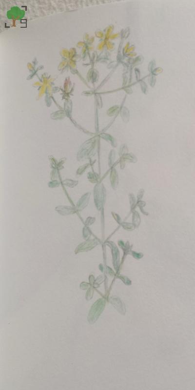 rośliny, botanika, zielarstwo, projekt zielnik, rysunki,