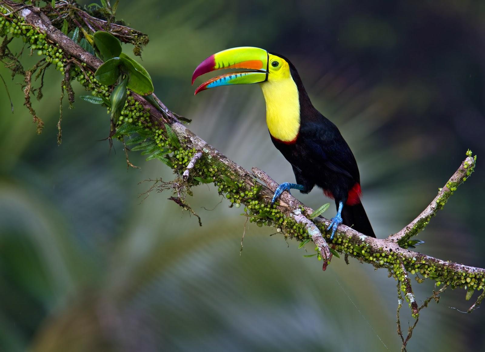 World Beautiful Birds : Keel Billed Toucan | Information ...