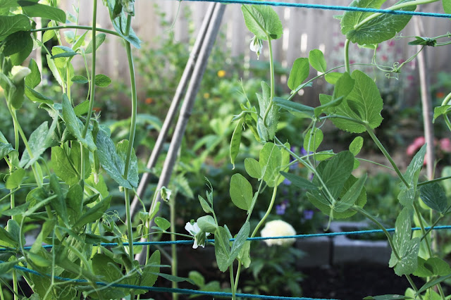 peas, gardening, snap peas, Amish Snap Pea, Anne Butera, My Giant Strawberry