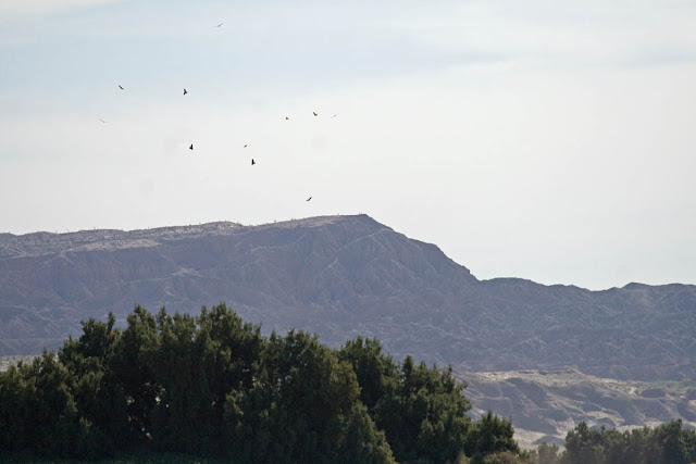 kettle of Swainson's Hawks in Borrego Springs