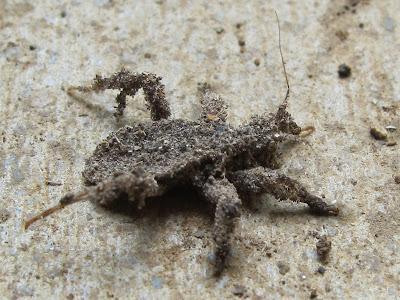 Blue Jay Barrens Dusty Bug