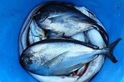 Cara menghilangkan bau tanah pada ikan air tawar