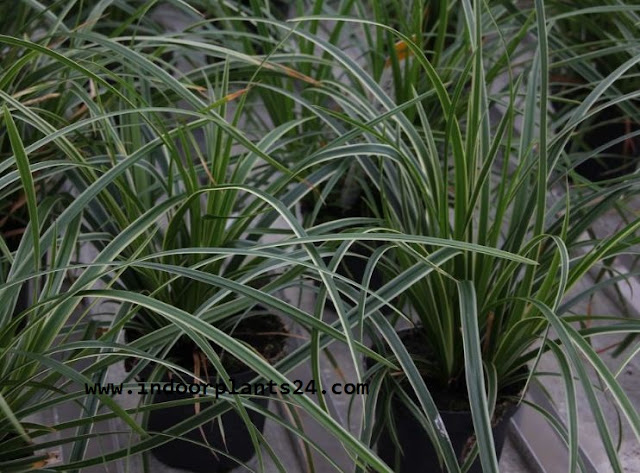 Japanese sedge grass indoor house plant picture