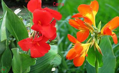 canna flower, canna