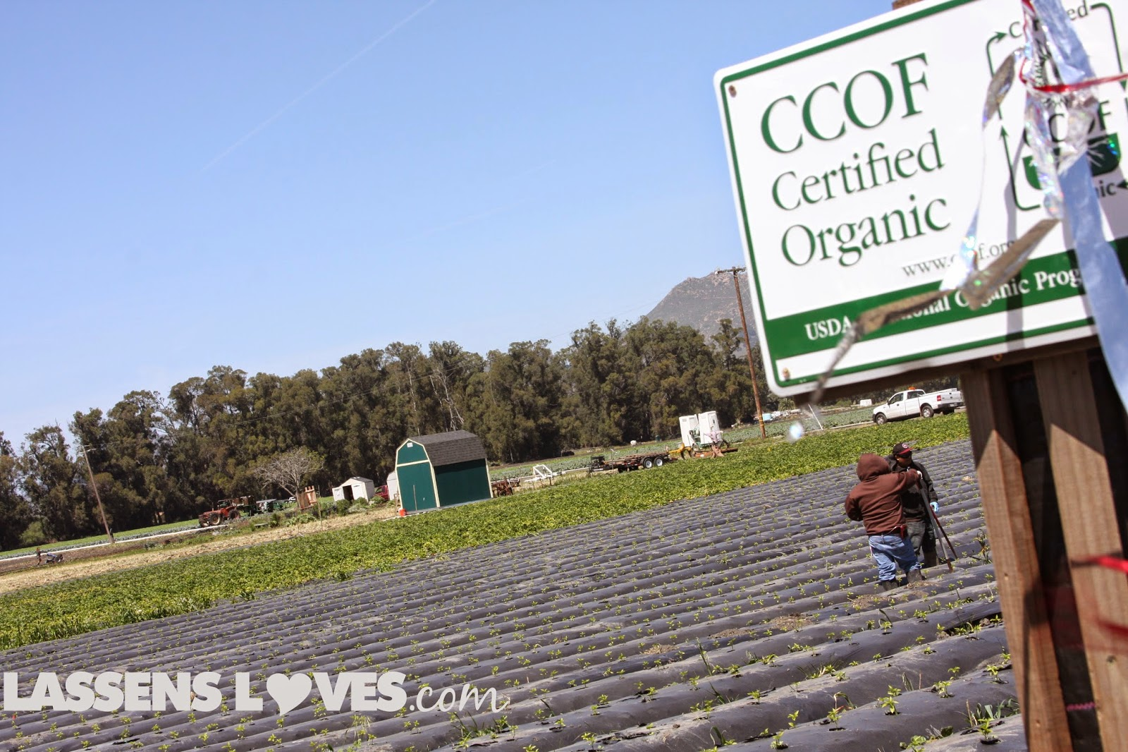 Green+gold+organic+farm, Green+Gold, organic+produce, organic+strawberries