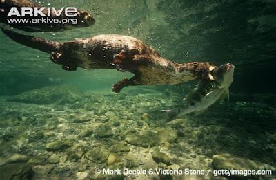 spot necked otter