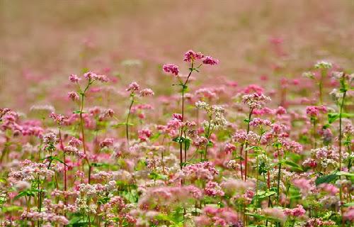 champs de sarrasins couverts par le rose