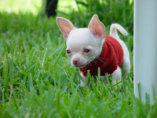 En raras ocasiones, vemos un chihuahua blanco. Los nombres de perro blanco son Albus, Arjun, Bolt, Bianca, Blanca