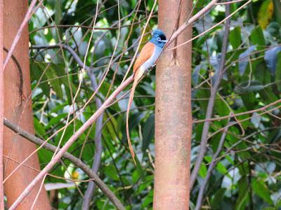 Uganda's African-paradise flycatcher