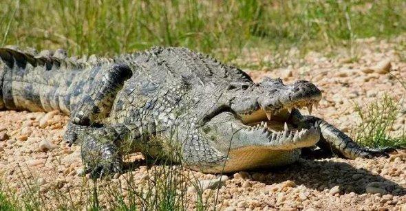 В Індонезії високий відсоток трагічних випадків між людьми і крокодилами