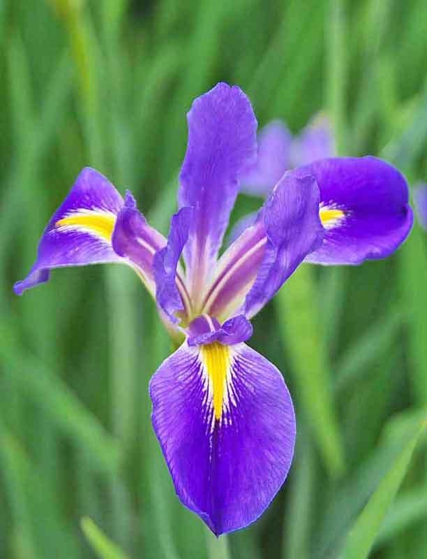 Vertical image, purple iris, close-up