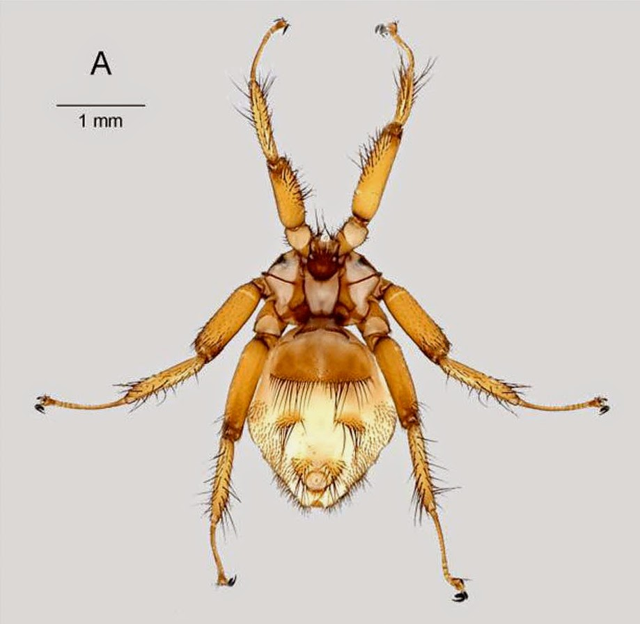 Miniopteru Saelleni Was Not Encountered In The Comoros During Study But Found To Be Infested By Nycteribia Stylidiopsis Madagascar
