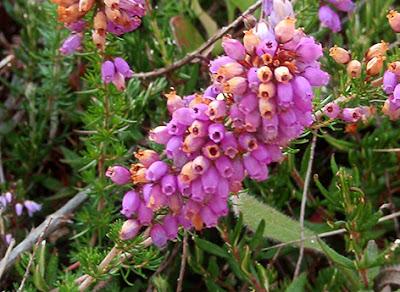 Brezo nazareno (Erica cinerea) flor silvestre rosa