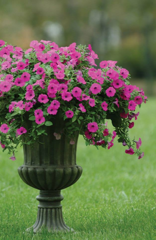 Top 28 When Can You Plant Petunias Growing Petunias