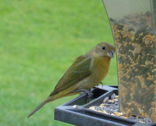 Female painted butning at birdfeeder