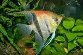 Komunitas Penyuluh Perikanan Budidaya Ikan Manfish Pterophyllum Scalare