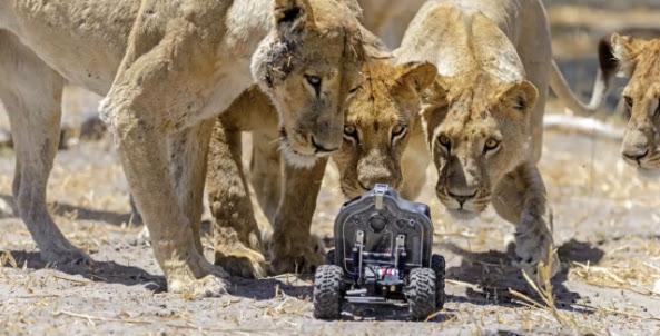 Đàn sư tử tò mò và thích thú với xe tự hành Car-L chụp ảnh
