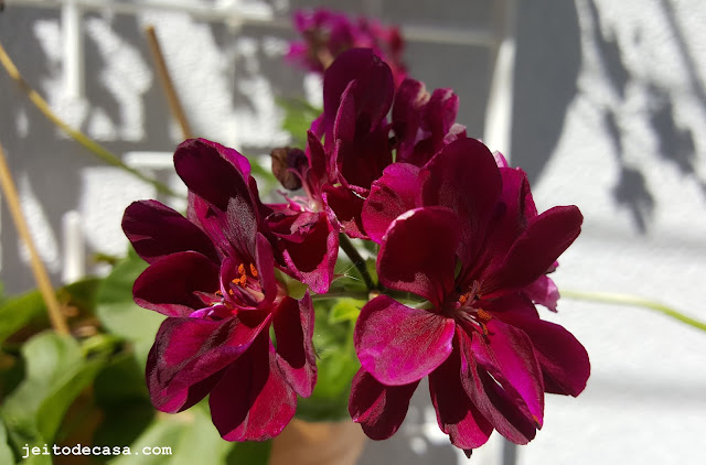 pelargonium-flowers