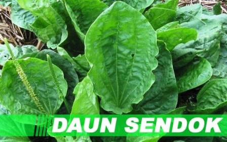 manfaat-tanaman-obat-daun-sendok