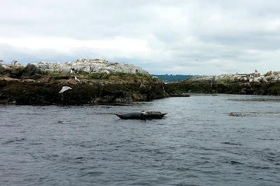 harbour seals trial island