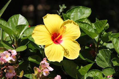 Hibiscus Flower Original Image