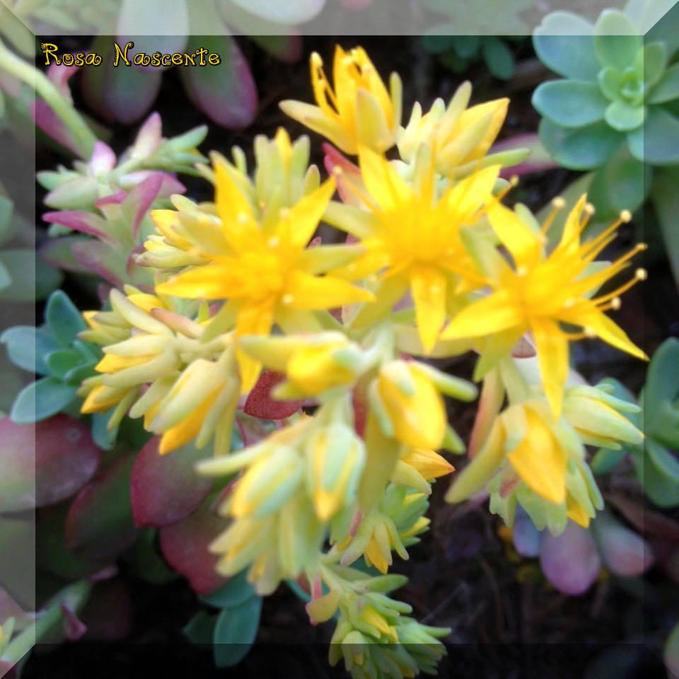 Pianta Grassa Con Fiori Gialli.Dollar Photoes Pianta Grassa Con Fiore Giallo