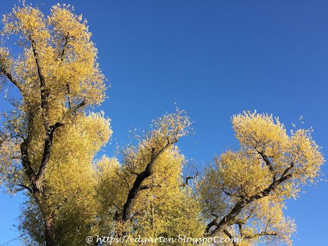 Silberweide im Herbst