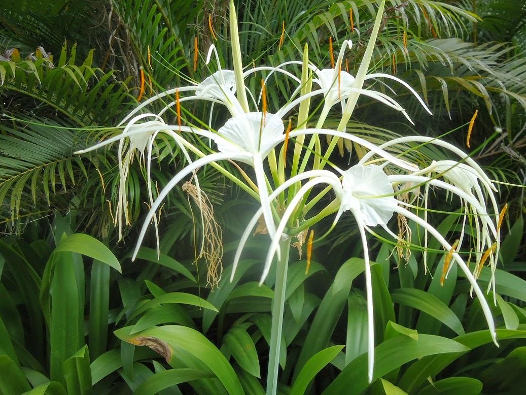 How to grow spider lilies the garden of eaden how to grow spider lilies izmirmasajfo