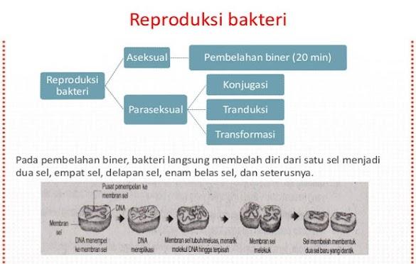 Reproduksi Bakteri, Tahapan, Cara, Contoh dan Gambar Ilustrasinya