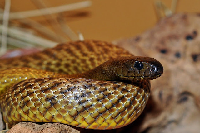 Loài rắn dài đến 2,5 mét này được tìm thấy tại những khu vực nội địa tại Australia.