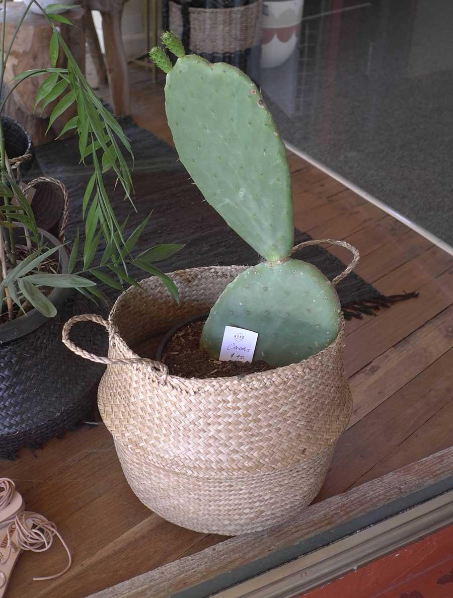 Bellingen area: Cacti and Succulents of the Bellingen Area