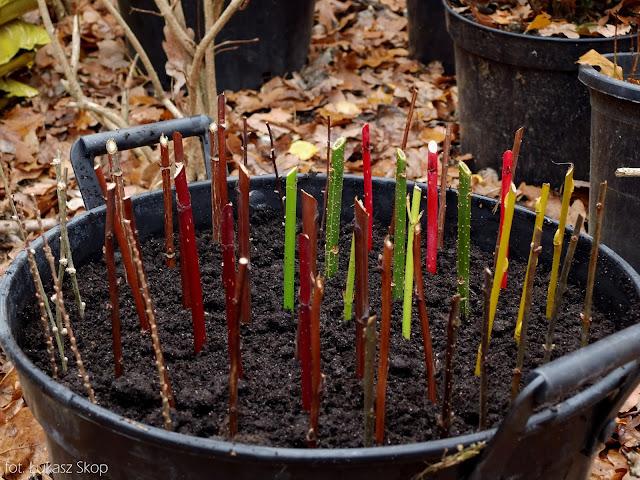 sadzonki zdrewniałe krzewów posadzone w donicy
