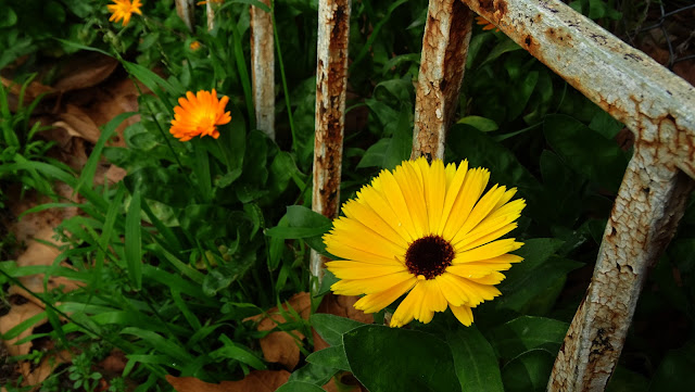 Calendulas Flower Photo