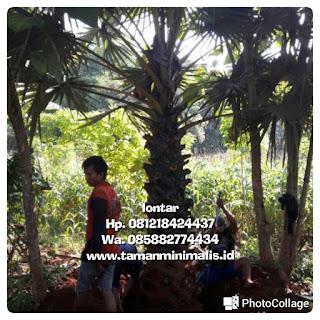 Palm lontar