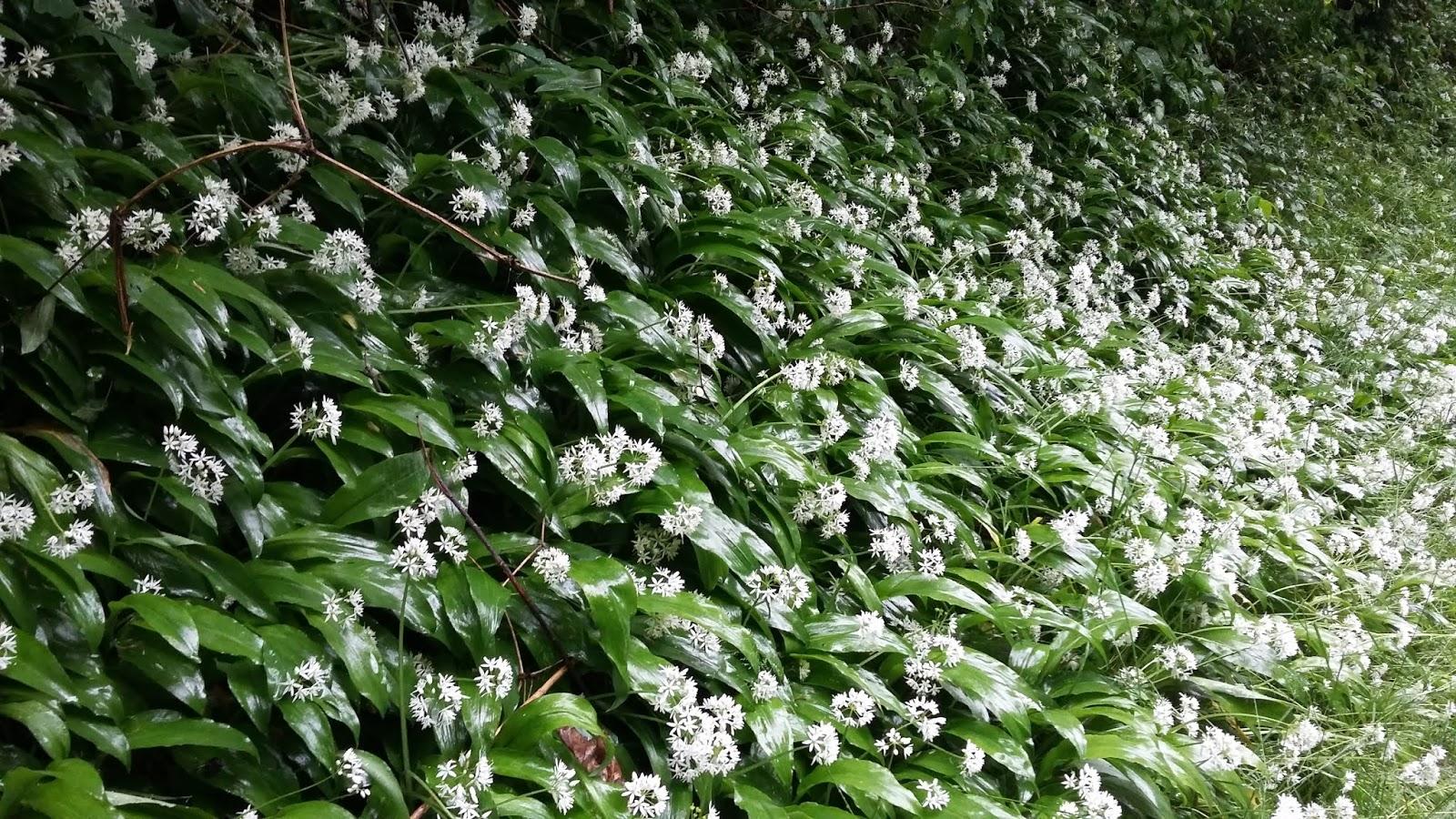 La Bottega Selvatica: Allium ursinum L. Aglio orsino