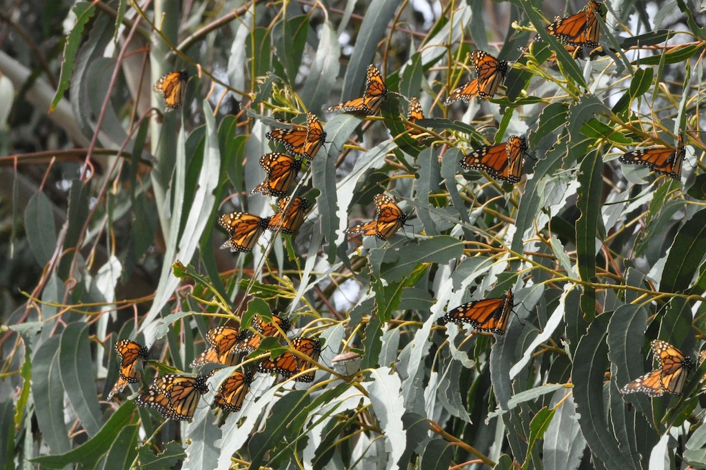 Beach The Monarch Erfly Grove From October Through February Erflies Overwinter In California And Pismo Has One Of Largest