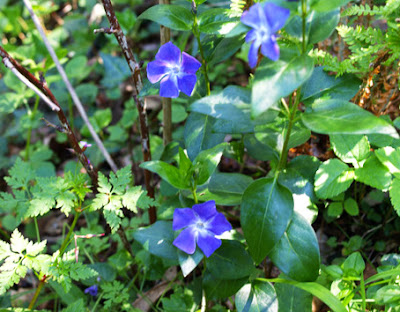 Vinca mayor (Vincapervinca major)