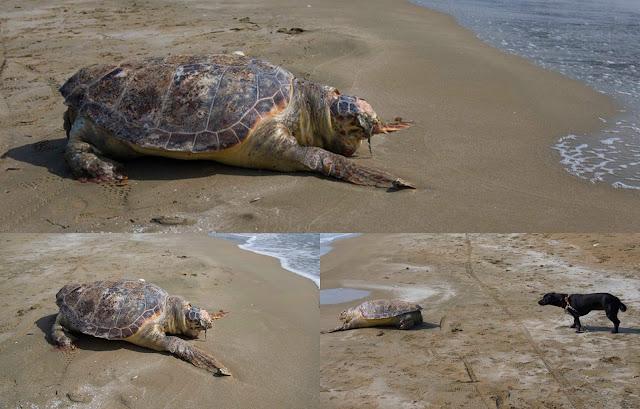 Μία ακόμα νεκρή χελώνα καρέτα - καρέτα στην παραλία του Δρεπάνου (+ΦΩΤΟ)