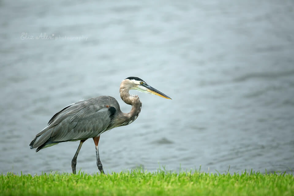Great blue heron of the woodlands texas