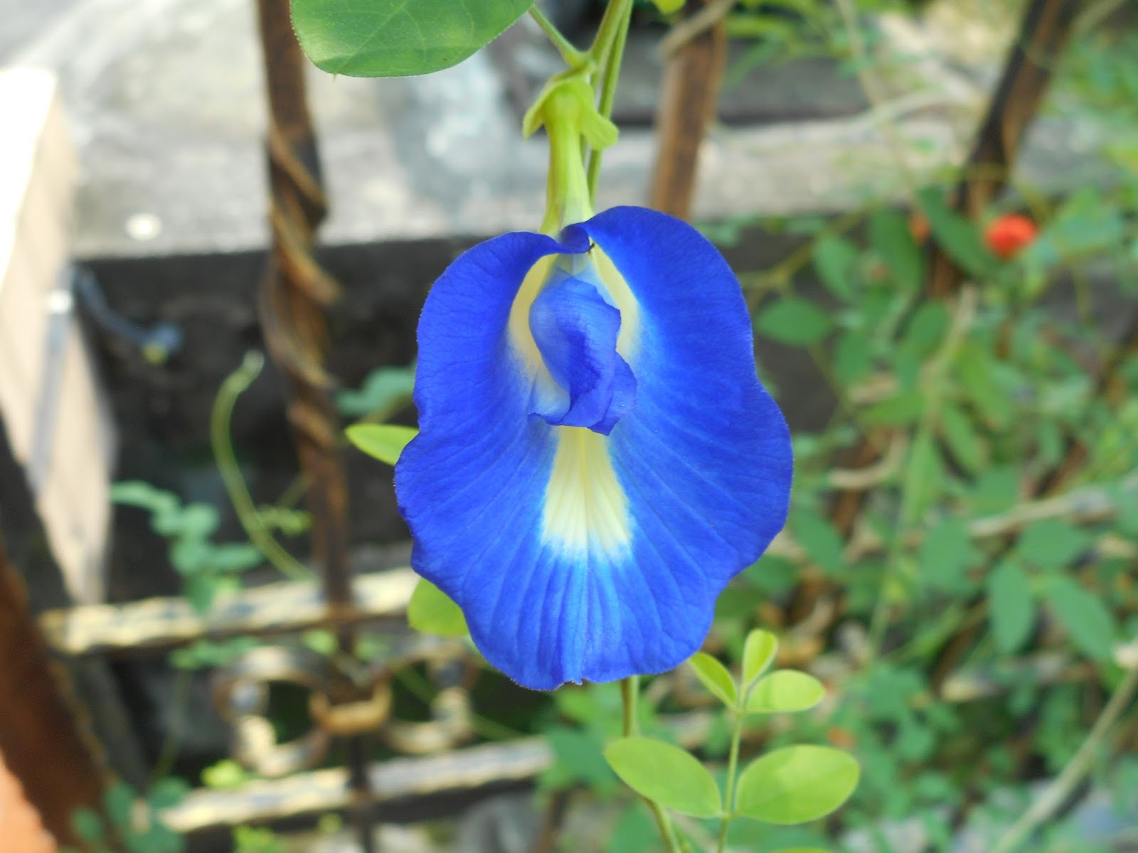 Refreshing blue pea flower tea with lemon the hedgehog knows refreshing blue pea flower tea with lemon izmirmasajfo Images
