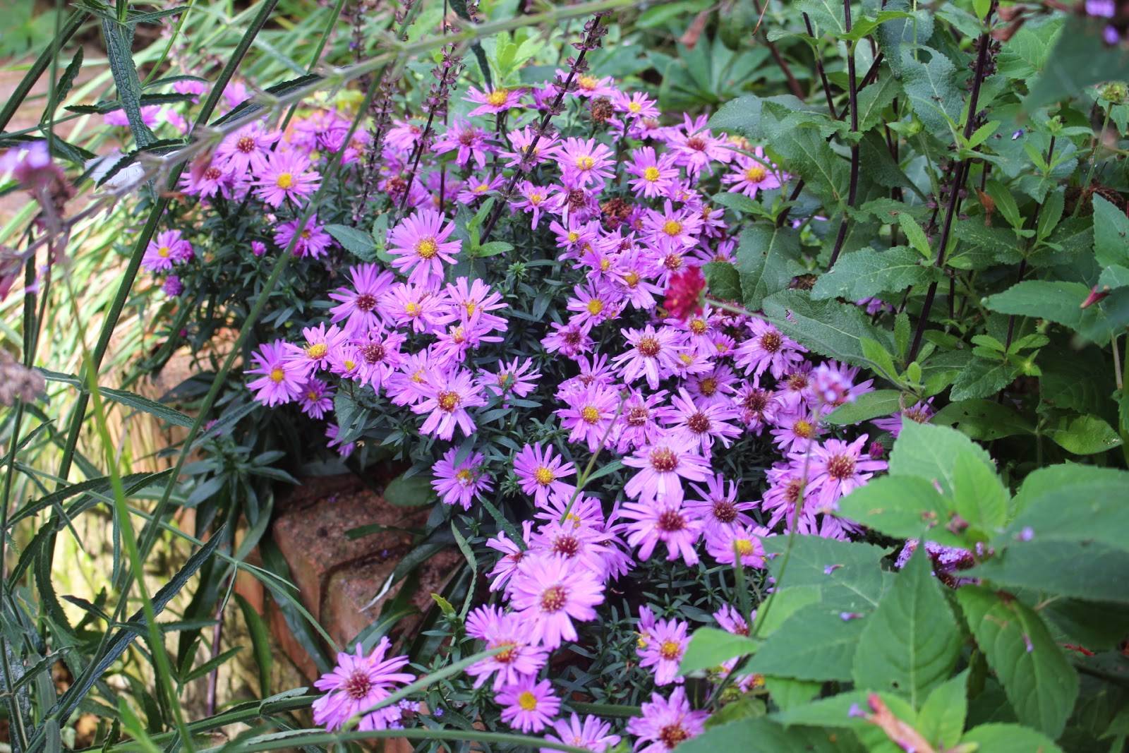 Photo of Aster novi-belgii 'Waterperry' draped over a garden wall