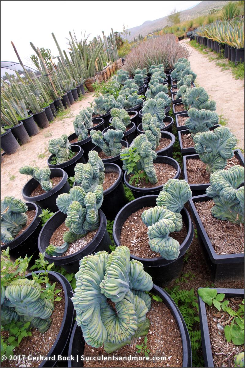 Monstrose Cereus Sp