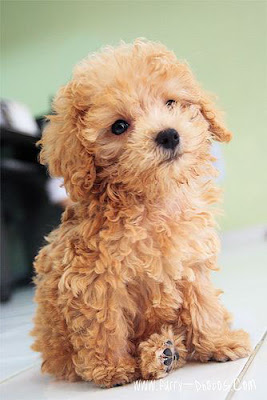 Toy Poodle personality