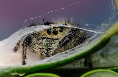 Phidippus regius hiding near her egg sac
