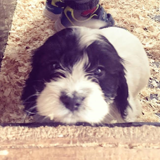 my mummy spam, catch up, maisie, cockerpoo, puppy, cockerpoo puppy, dog, pup, cute dog, black and white dog, poodle, cocker, cute puppy, puppy dog eyes,