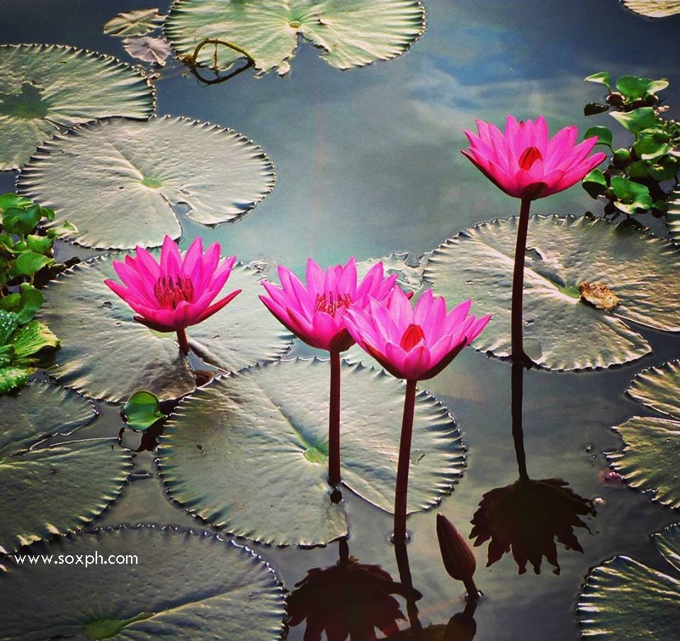 Lotuses in Lake Seloton